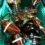 Moulton, Massachusetts Lawmakers Fight to Protect Lobster Industry