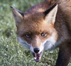 Rabid Fox Bites Three Ipswich Residents – Radio Interview with Ipswich Animal Control Officer Megan Boissonneau